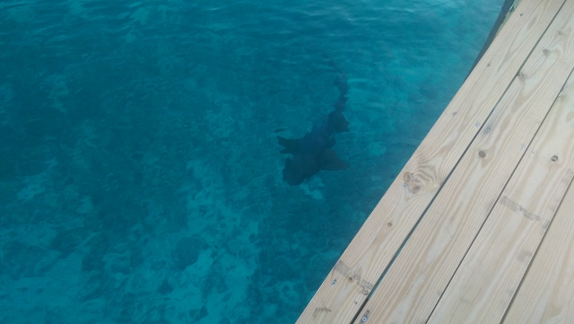 Dock view of one of a dozen sharks at Flying Fish Marina.